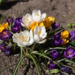 Crocuses close up in spring — Stock Photo #61680883