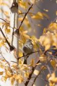 Autumn sparrow — Stock Photo