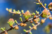 Larch in the spring close up — Stock Photo