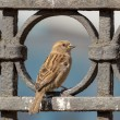 Portrait of a sparrow — Stock Photo #63956873