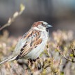 Sparrow on a branch closeup — Stock Photo #63956875