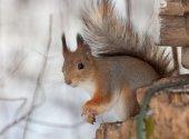 Squirrel closeup in winter — Stock Photo