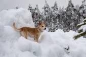 Dog among winter snowdrifts — Stock Photo