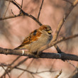 Portrait of a sparrow — Stock Photo #64880281