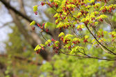 Spring maple — Stock Photo