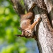Curious squirrel on a tree — Stock Photo #73014327