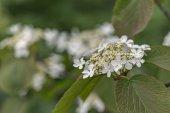 Viburnum in spring — Stock Photo
