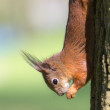 Squirrel on a tree — Stock Photo #75374031