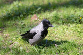 Crow in spring — Stock Photo