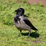 Portrait of a crow — Stock Photo #76613109