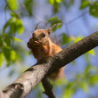 Squirrel on a tree — Stock Photo #77113931