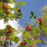 Ripe rowan branches — Stock Photo #77805050