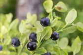 Dojrzałe jagody na krzaku — Zdjęcie stockowe