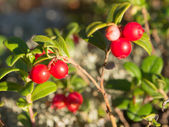 Bush of ripe lingonberry — Stock Photo