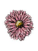 Chrysanthemum — Stock Vector