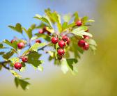 Ripe hawthorn berries on a branch — Foto de Stock