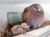 Dove with small chick in the nest — Stock Photo