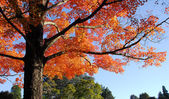 Oranžový javorový strom listoví pádu — Stock fotografie
