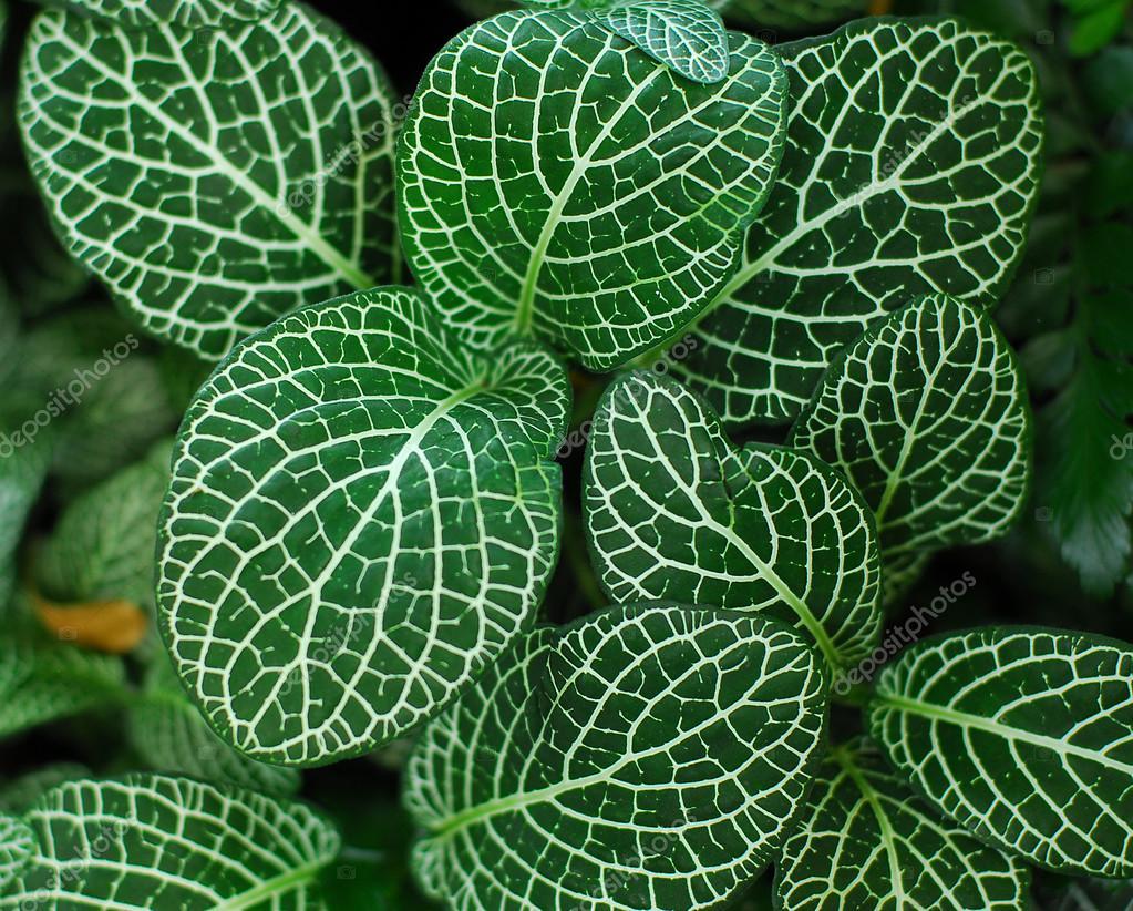 Hojas de las plantas verdes del nervio foto de stock - Plantas de hojas verdes ...