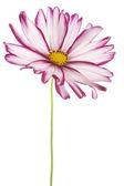 Cosmos flower — Stock Photo