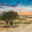 Tunisian landscape with lonely tree  — Stock Photo #61966855