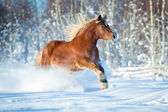 Brown horse running in the snow — Stock Photo