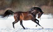 Brown horse running in the snow — Zdjęcie stockowe