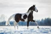 Horse trot in winter field — Stock Photo