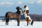 Two horses playing in the snow — Stock Photo