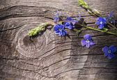 Veronica on a wooden background — Stock Photo