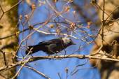 Bird a jackdaw on a tree branch in the spring — Stock Photo