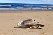 Seagull dies in a trap from the thrown line — Stock Photo