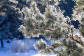 Winter, fir-tree in  frost — Stock Photo