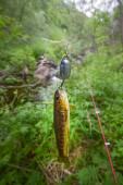 Salmon fishing in a polar creek — Stock Photo