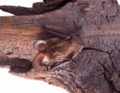 Long-eared bat — Stock Photo