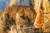 Hunting beaver with prey — Stock Photo