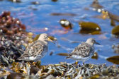 Birds on the ocean among fucus and laminaria — Stock Photo