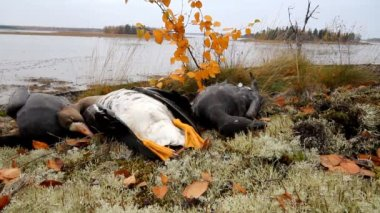 Trophies Northern hunting geese — Stock Video