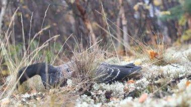 Black goose is resting among reindeer moss — Stock Video