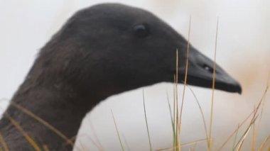 Portrait black goose in the fog — Stock Video