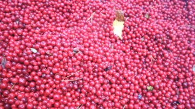 Cranberries are healthy and tasty Northern berry — Stock Video