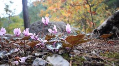 Winter flowers of cyclamen in  mountains of  Mediterranean — Stock Video
