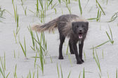 Barking commander polar fox — Stock Photo