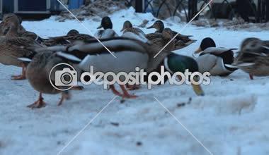 Look through the eyes of a duck Mallard as an element of the urban environment — Stock Video