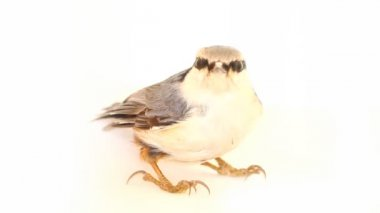 Nuthatch Sitta europaea on a white background — Stock Video
