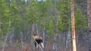 Moose wild animal in the forest — Stock Video