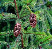 Větev s šiška — Stock fotografie