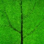 Green Leaf closeup — Stock Photo #77634364