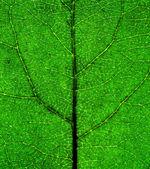 Green Leaf closeup — Stock Photo