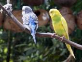 Beautiful budgies sitting on a branch. — Stock Photo